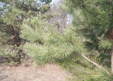 Pine branch. In spring forest Stock Photos