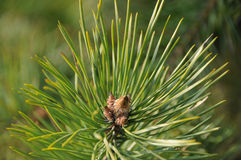 Pine branch at spring Stock Image