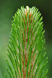 Pine Branch Stock Image