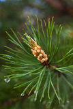 Pine branch with strobile Royalty Free Stock Photos