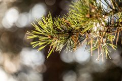 Pine branch. Royalty Free Stock Images