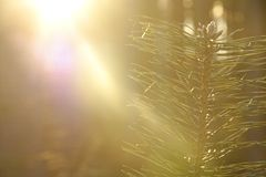 Pine branch in the sun Royalty Free Stock Photography