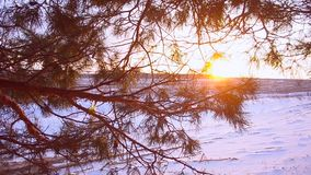 Pine branch in sun, snowflakes glittering in the sun, field covered with snow, beautiful winter landscape. Pine branch in sun, snowflakes glittering in sun stock video