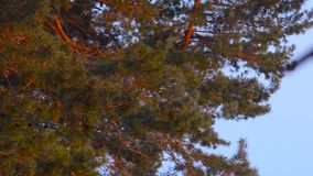 Pine branch sunlit, swaying in the wind, against the blue sky, pinecone on a tree stock video