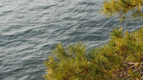 Pine branch sways in the wind against blue Lake Como surface. Pine branch sways in the wind against blue Lake Como surface, Italy Royalty Free Stock Photo