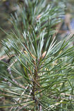 Pine branch top with green needles Stock Photos