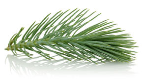 Pine branch. Pine tree branch with cone isolated on white royalty free stock photo