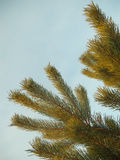 Pine branch tree isolated on sky Stock Photography