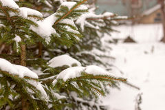 Pine branch tree under snow Stock Images