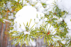 Pine branch under snow. In winter stock photos