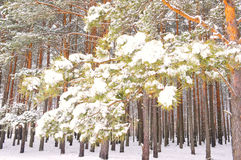 Pine branch under snow. In winter forest stock images