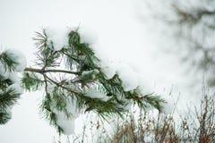 Pine branch under snow Stock Photo