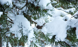 Pine branch under snow Royalty Free Stock Photo