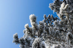 Pine branch under snow Royalty Free Stock Images