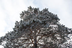 Pine branch under snow Stock Photography