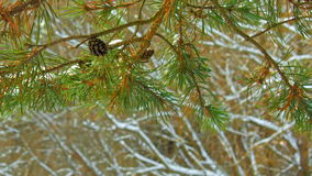 Pine branch under snow in winter forest.  stock video footage