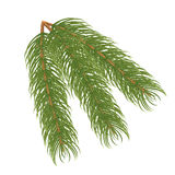 Pine branch.Vector illustration Royalty Free Stock Images