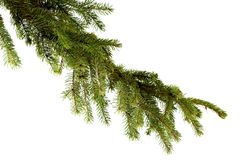 Pine branch on white background Stock Images