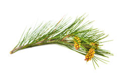 Pine branch on a white background Royalty Free Stock Photos