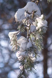 Pine branch with white snow hangs close-up Stock Photos
