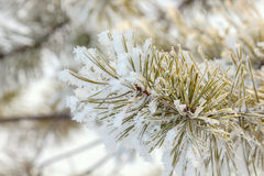 Pine branch in winter Stock Images