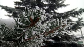 Pine branch in winter Royalty Free Stock Images