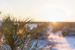 Pine branch on winter sunset close up Stock Images