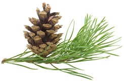 Free Pine Branch With Cone Royalty Free Stock Images - 16751549