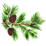 Pine Branch With Cones On A White Background Royalty Free Stock Photo