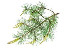 Pine Branch With Young Shoots Stock Photo