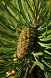 Pine branch with the young cone Stock Photography