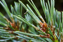 Pine branch with young cones royalty free stock photos