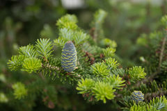 pine branch with young green cones Royalty Free Stock Photo