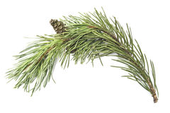 Pine branche Royalty Free Stock Photos