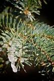 Pine branche Stock Image