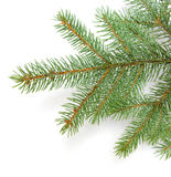 Pine branches Royalty Free Stock Image