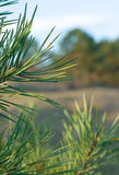 Pine branches. Macro branch pine-tree on natural green background royalty free stock photo