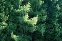 Pine branches. In forest with sunlight Stock Photography