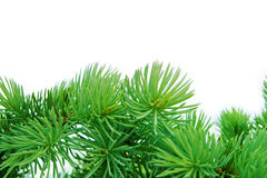 Pine branches Royalty Free Stock Images