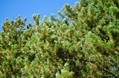 Pine Branches Royalty Free Stock Photos