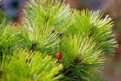 Pine branches. Green branches of a conifer Stock Images