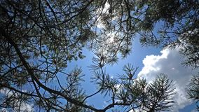 Pine branches against the background of the blue summer sky with the sun and white clouds.  stock footage