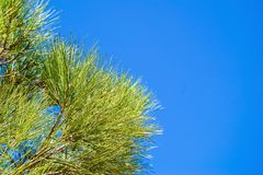 Pine branches against the blue sky Stock Photos
