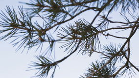 Pine branches against the blue sky. Season video stock footage