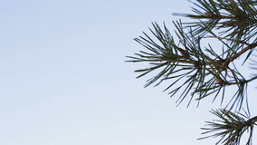 Pine branches against the blue sky. stock footage