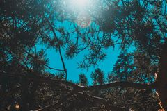 Pine branches against the blue sky, sun rays stock photo
