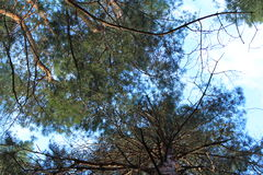Pine branches against the sky. Pine branches against the blue sky are photographed from below royalty free stock photos