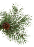 Pine Branches And Cones Stock Image