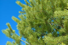 Pine branches on a background of blue sky Stock Image