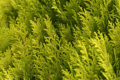 pine branches background Royalty Free Stock Photography